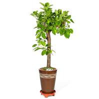 벵갈고무나무(괴목)